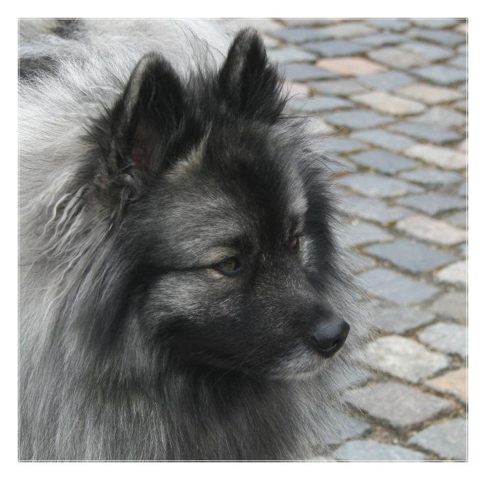 Wolfsspitz Portrait