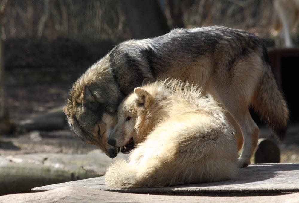 Wolfsunterhaltung