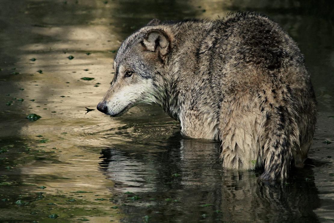wolfswasser
