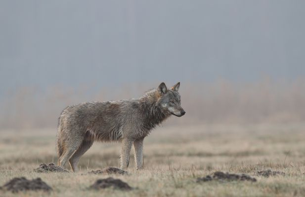 Wolfswelpe 28.2.16