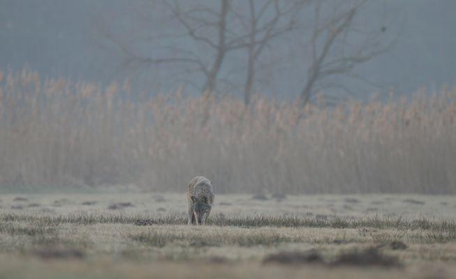Wolfswelpe Sachsen