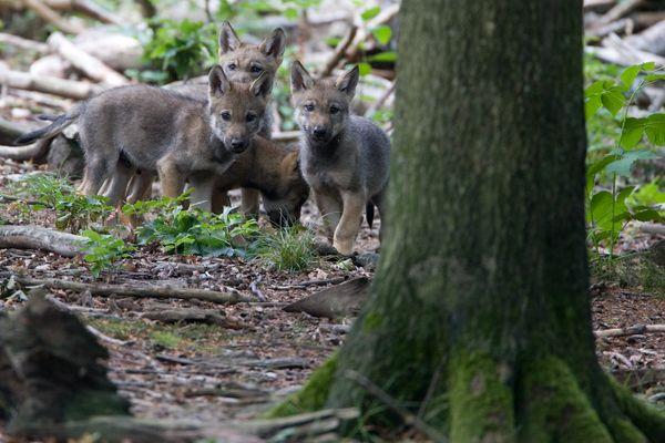 Wolfswelpen