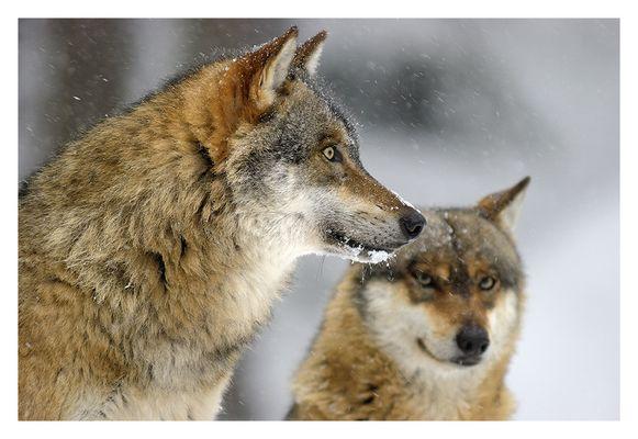 Wolfswinter