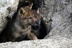 Wolfwelpen