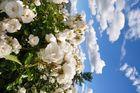 Wolkenrosen & Rosenwolken