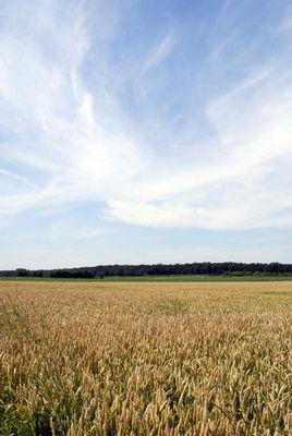 Wolkenschleier über sommerlichem Kornfeld