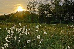 Wollgras im Duvenstedter Moor