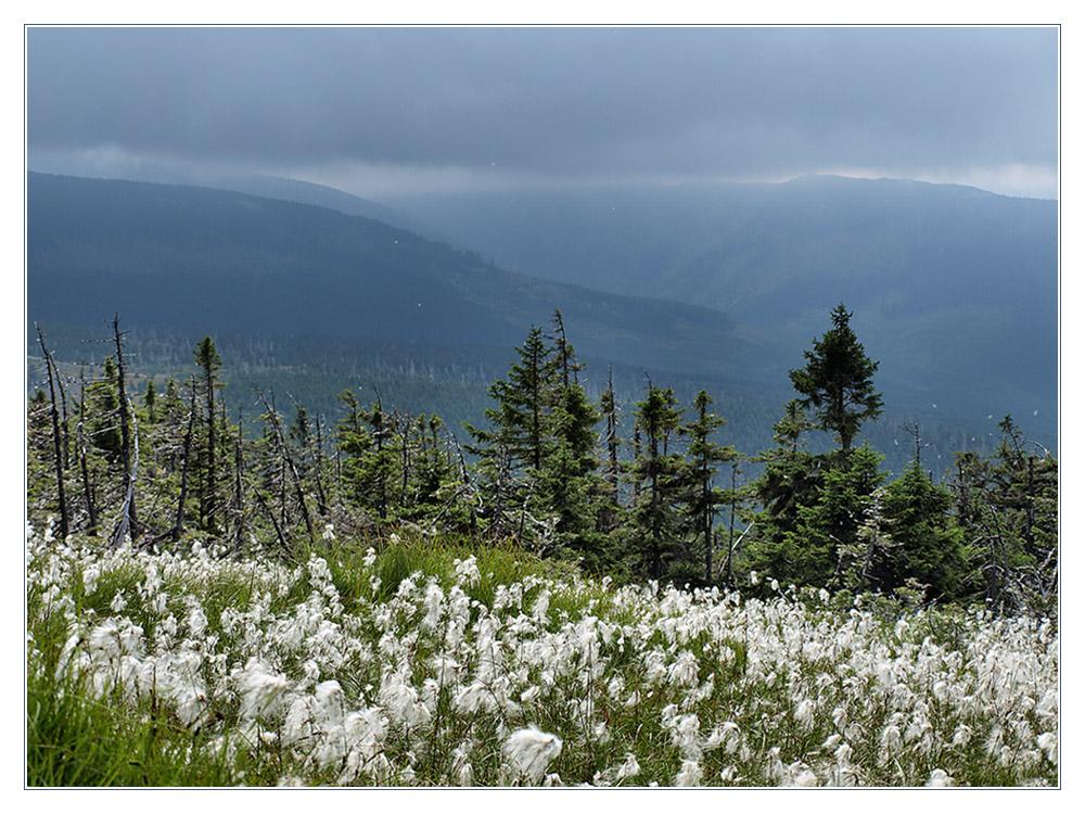 Wollgras im Riesengebirge,