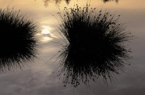 Wollgrashorste im Spiegelbild