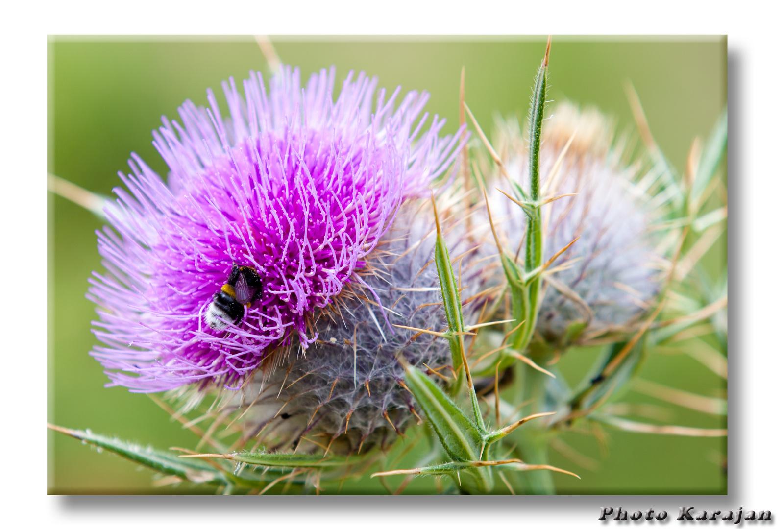 Wollkopf-Kratzdistel (Cirsium eriophorum)....hier mit Biene!