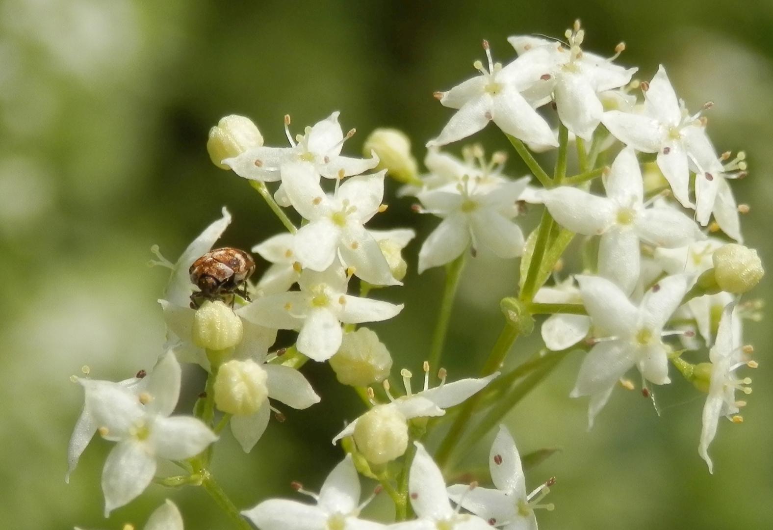 Wollkrautblütenkäfer (Anthrenus verbasci)