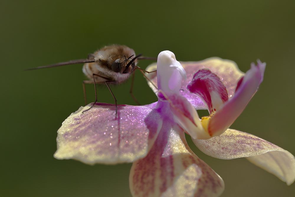 Wollschweber auf Orchidee