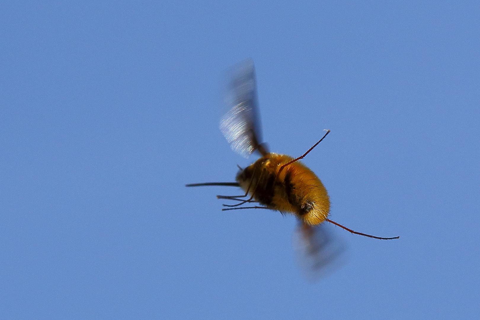 Wollschweber (Bombyliidae) (II)