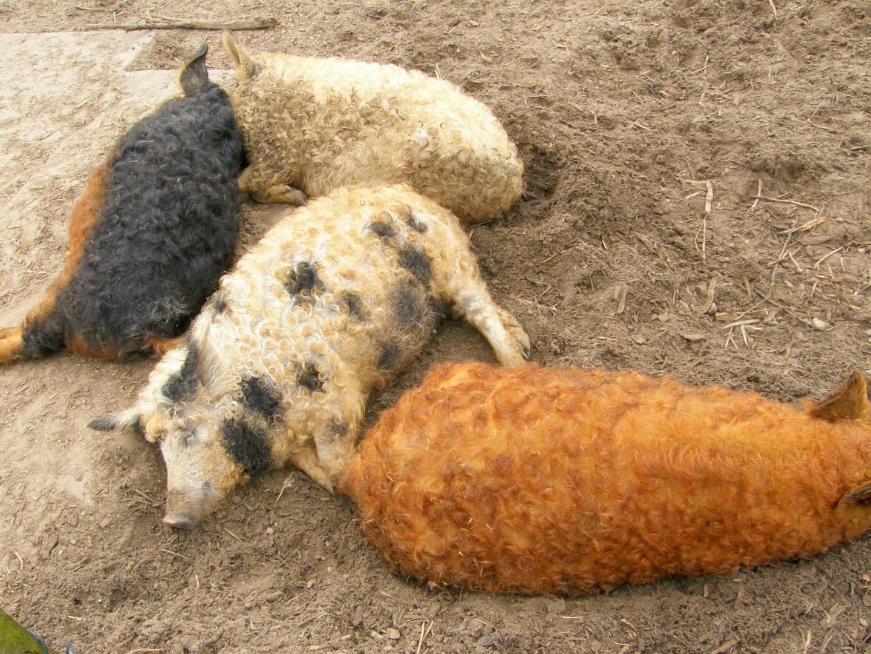 Wollschweinfrisuren..