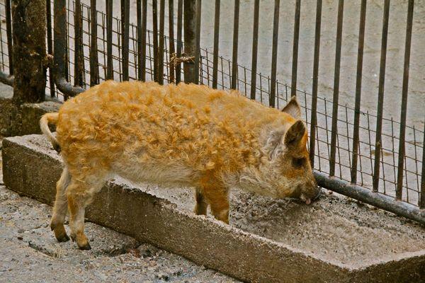 Wollschweinnachwuchs
