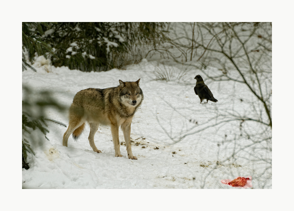 wolves VI