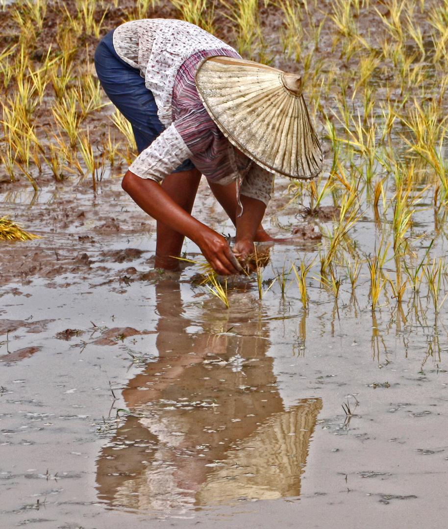 Woman planting rice