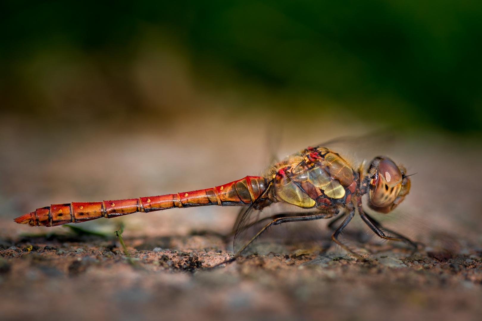 wonderful dragonfly