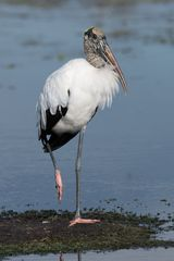 WOOD STORK / WALDSTORCH