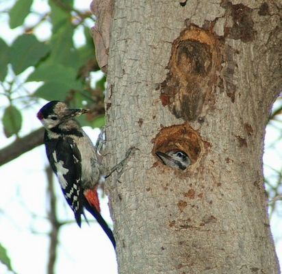 Woodpecker and flegling