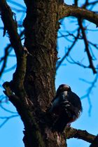 Woody Woodpecker ?