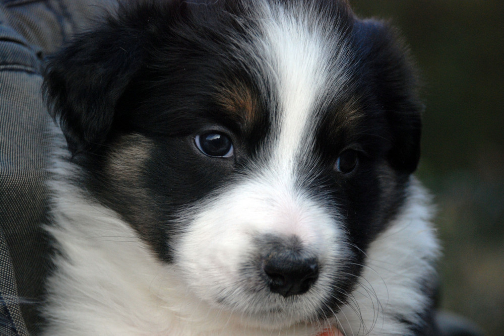 Wouters Border Collie