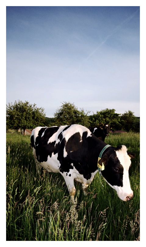 wow - cow!