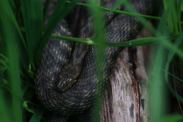 Würfelnatter - Natrix tesselata