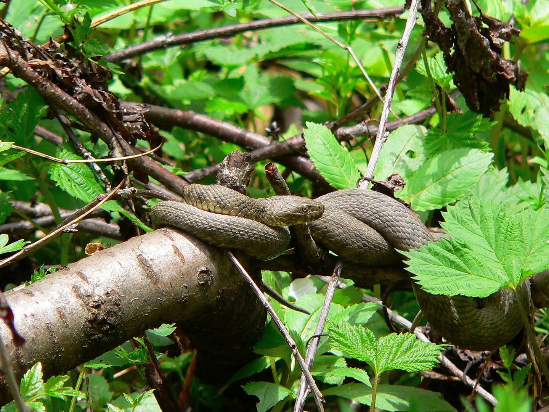 Würfelnatter sonnt sich am Baum
