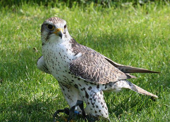 Würgfalke (Falco cherrug)