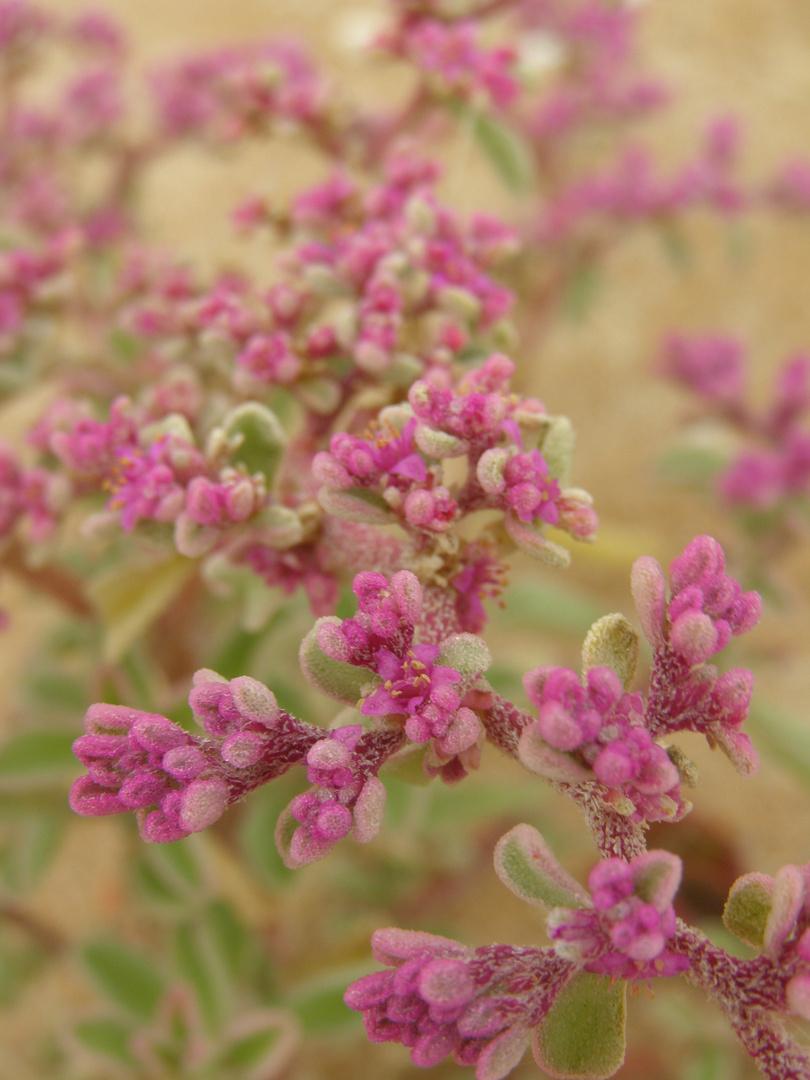 Wüstenblume in Makro