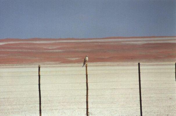 Wüstenfalke