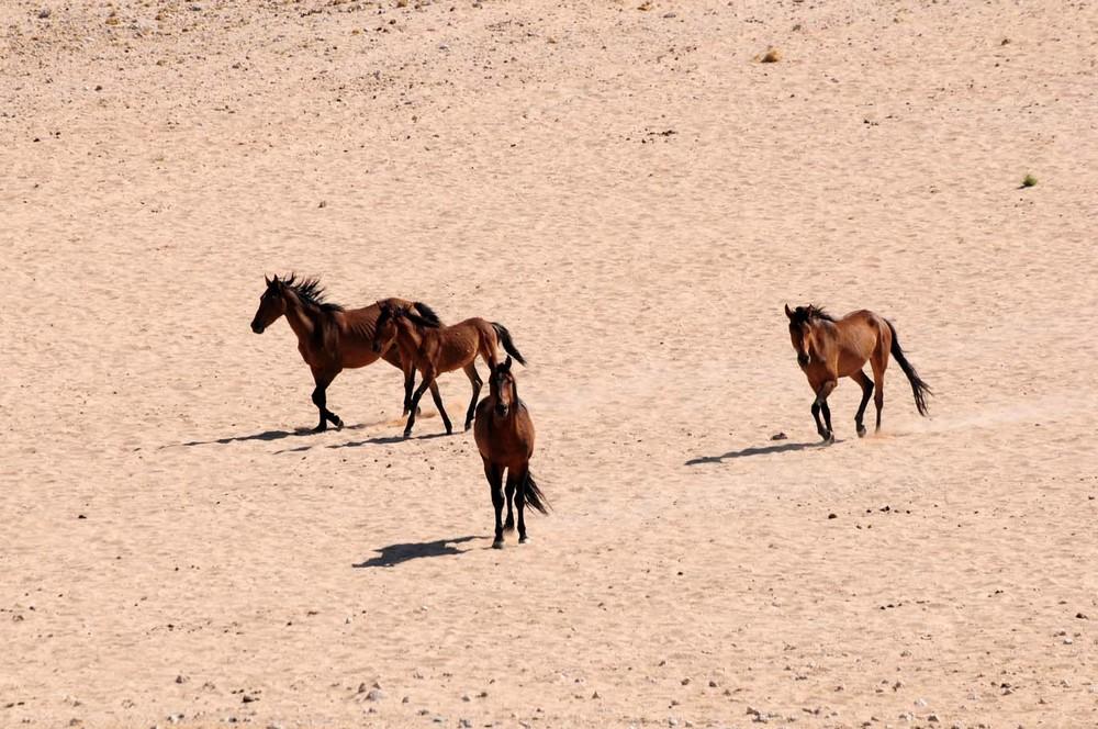 Wüstenpferde