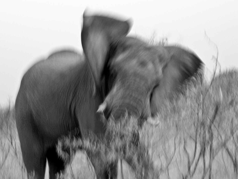 Wütender Elefant