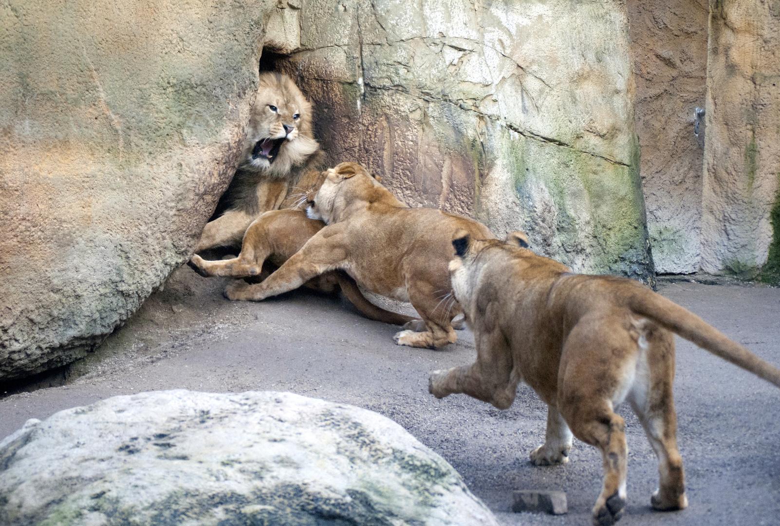 Wütender Löwe im Wuppertaler Zoo