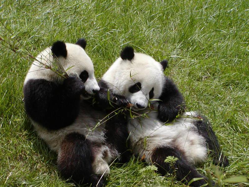 Wulong panda bears reservation Sichuan