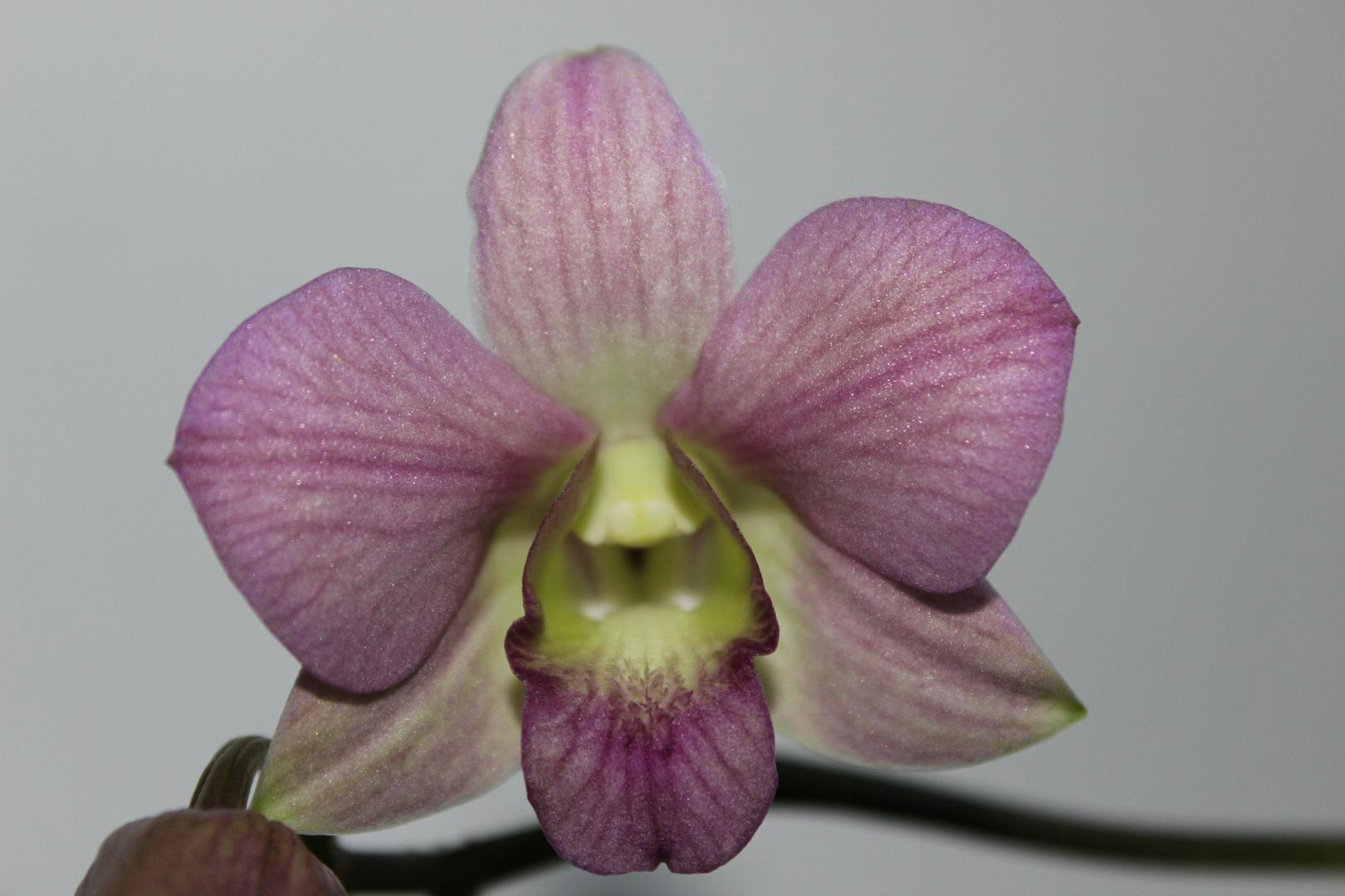 wunder schöne Orchideenblüte