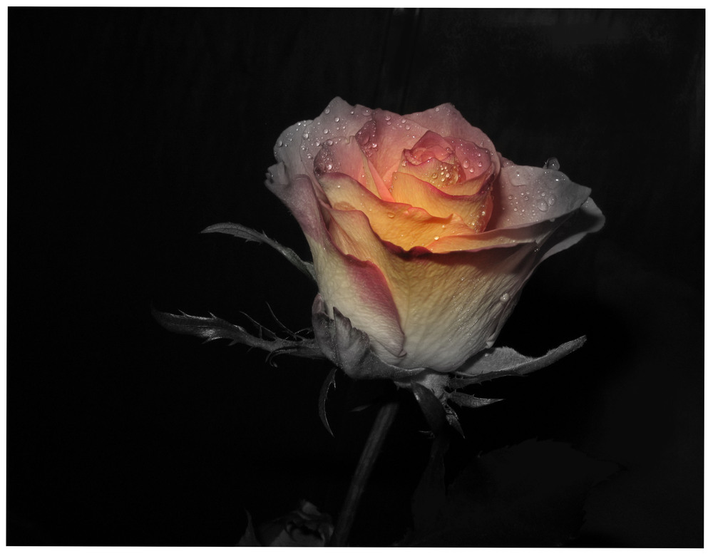 Wunderbare Rose mit SW-Effekt