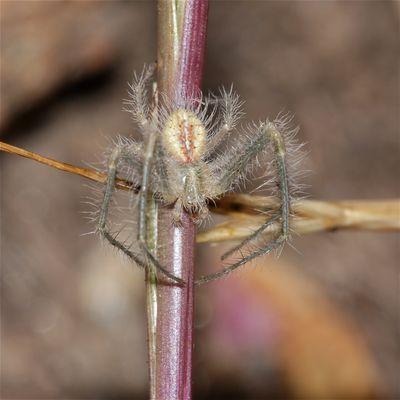 Wunderbare Türkei 99 - Krabbenspinne (Fam. Thomisidae)