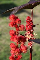 Wunderbaum in Nachbars Garten