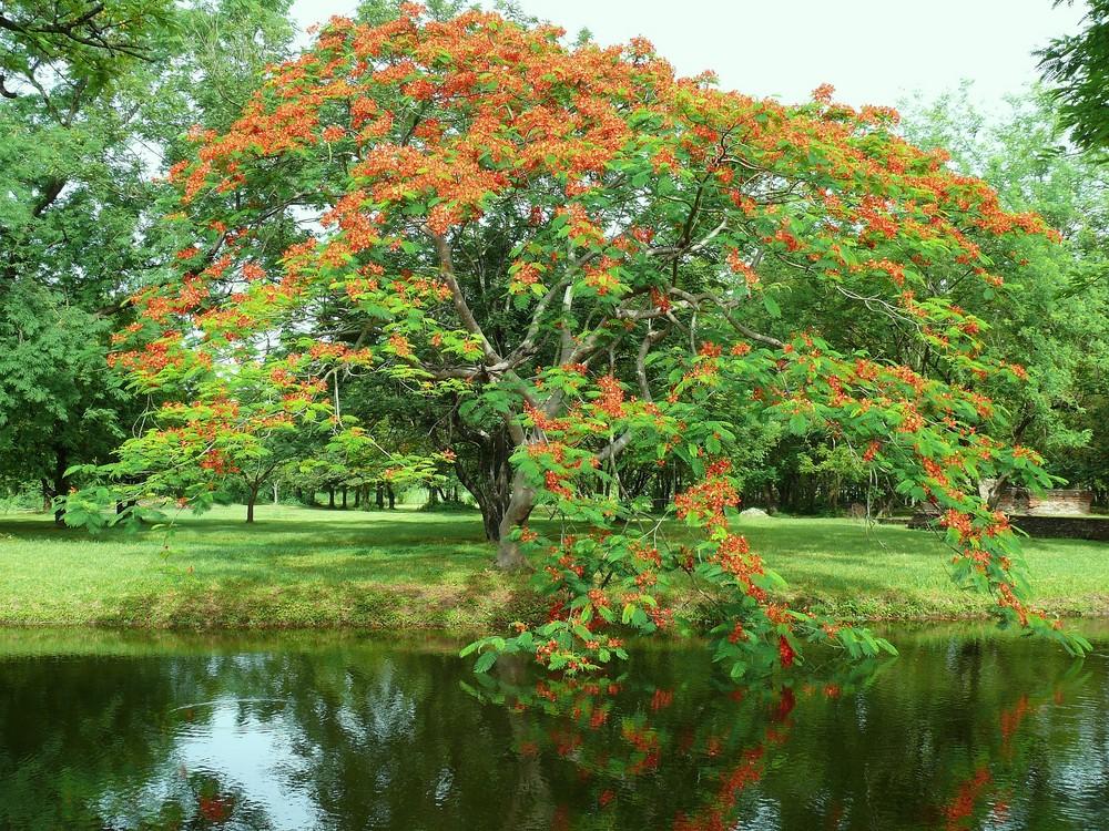 Wunderschön blühender Baum im Historical Park in Sukhothai.....