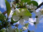 Wunderschöne Apfelblüte