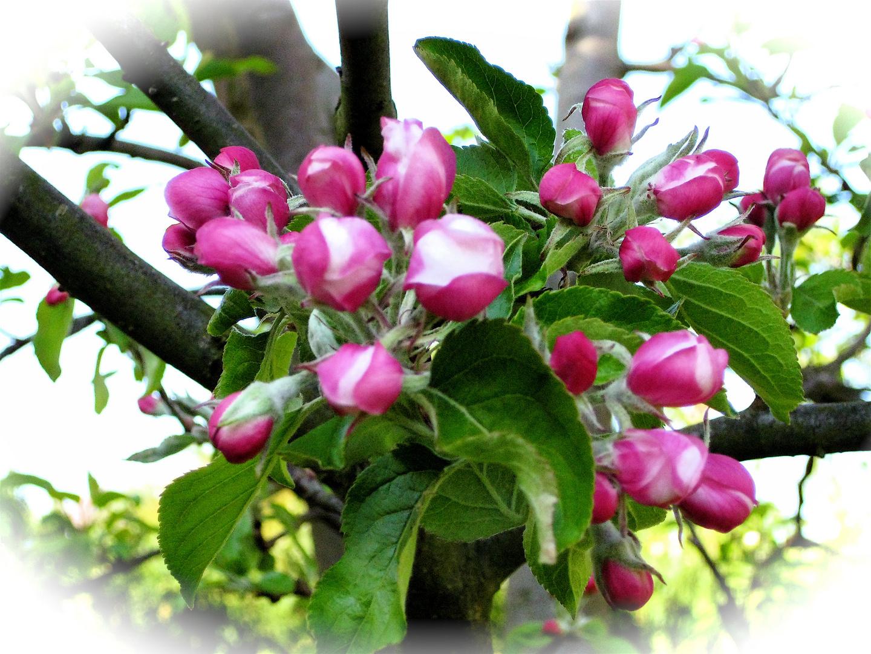 Wunderschöne Apfelblüten