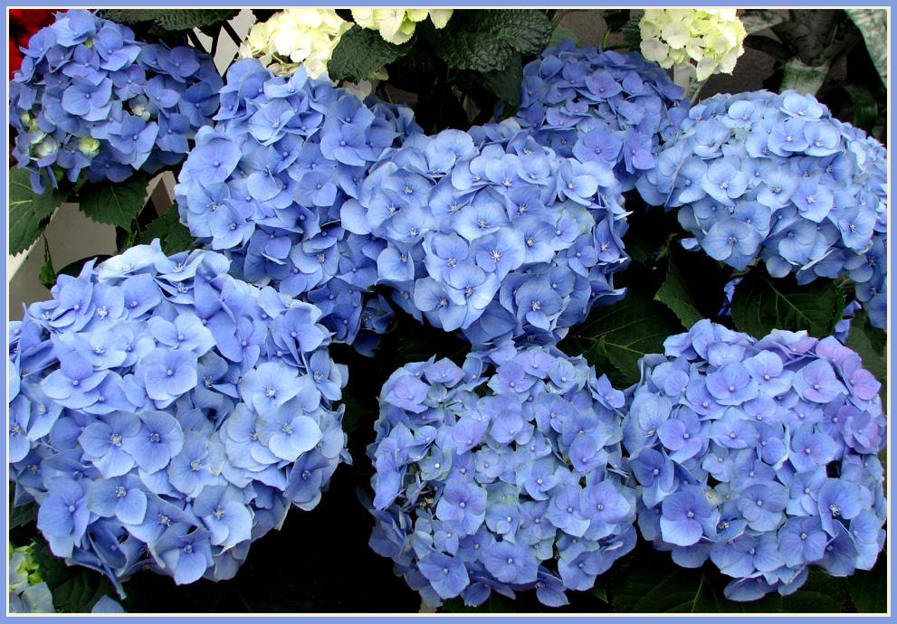 Wunderschöne Hortensien