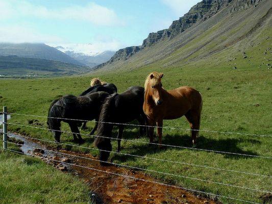 Wunderschöne Islandpferde