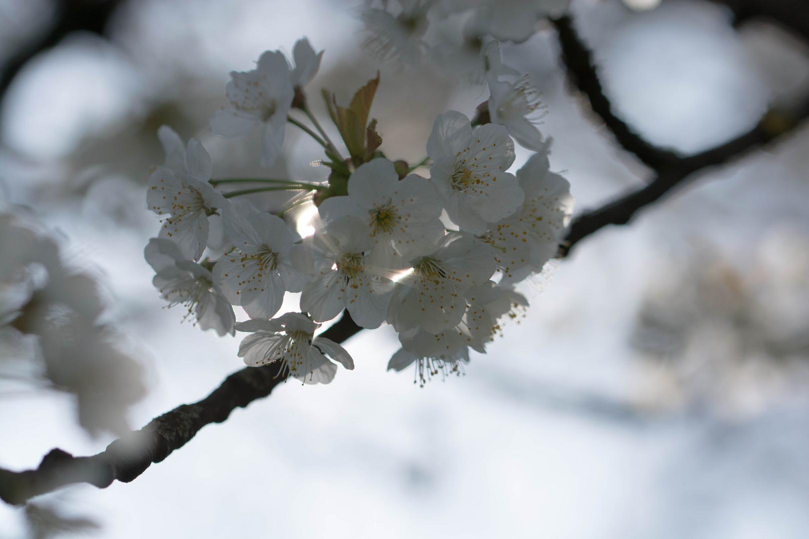 Wunderschöne Kirschblüten