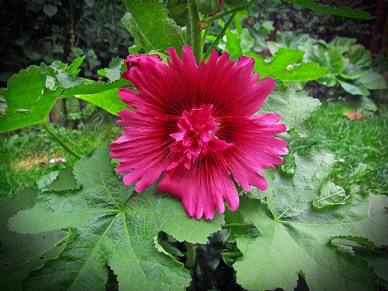 Wunderschöne Stockrosenblüte...