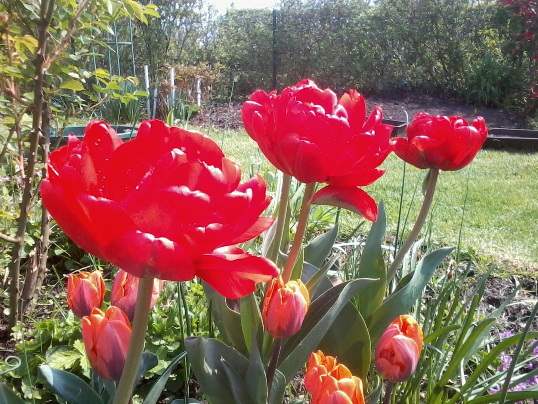 Wunderschöne Tulpen