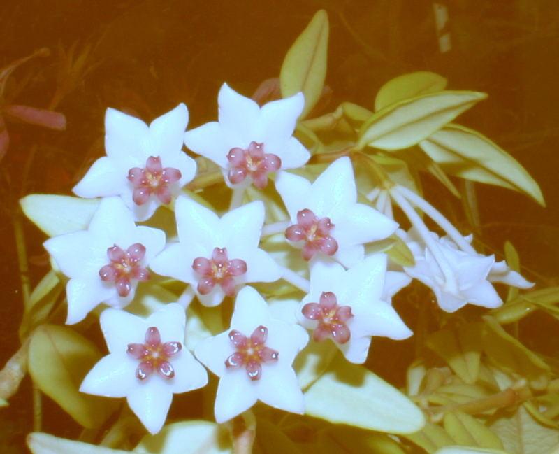 Wunderschöne Zimmerpflanze