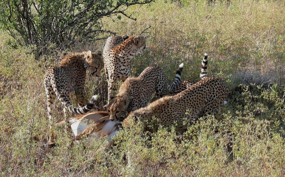 Wundervolle Cheetahs